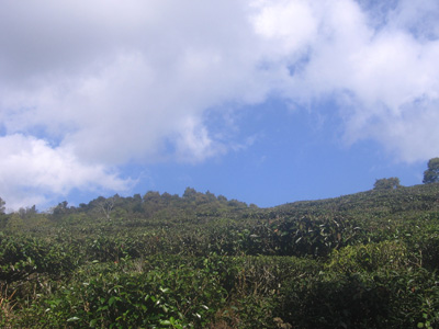 tea fields and blue sky